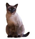 Siamese kat, op wit wordt geïsoleerd dat Royalty-vrije Stock Foto
