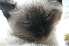 Siamese katje Royalty-vrije Stock Afbeeldingen