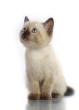 Siamese katje Royalty-vrije Stock Fotografie