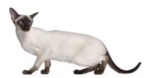 Siamese katje, 7 maanden oud Stock Foto