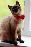 Siamese katje in een rode boog Royalty-vrije Stock Foto