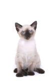 Siamese Katje op Wit die Gek kijken Royalty-vrije Stock Fotografie
