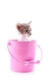 Siamese katje in roze emmer Stock Fotografie