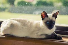 Siamese katje in venster Royalty-vrije Stock Afbeelding
