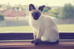 Siamese katje in venster Stock Fotografie