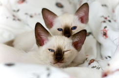 Siamese katjes Stock Fotografie