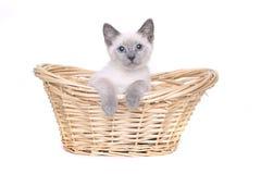 Siamese Katjes op een Witte Achtergrond Royalty-vrije Stock Afbeeldingen