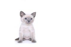 Siamese Katjes op een Witte Achtergrond Stock Afbeelding