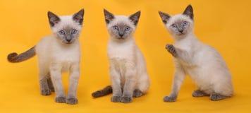 Siamese Katjes op Heldere Kleurrijke Achtergrond Royalty-vrije Stock Afbeelding
