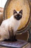 Siamese katt för skyddsremsapunkt Royaltyfri Bild