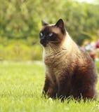 Siamese katt i gräs Arkivfoton