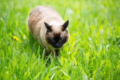 Siamese katt i gräset med blåa ögon Arkivbilder