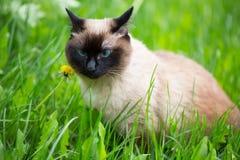 Siamese katt i gräset med blåa ögon Arkivfoton