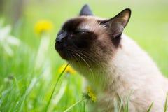 Siamese katt i gräset med blåa ögon Arkivbild