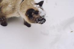 Siamese katt i snön Arkivfoto