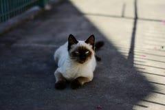 Siamese katt med blåa ögon som ligger på trottoaren Arkivfoto
