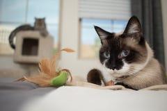 Siamese katt med den gråa kattungen i bakgrunden Arkivfoton