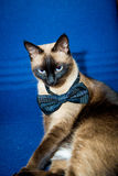 Siamese katt med flugan Royaltyfri Fotografi