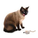 Siamese katt med leksakmusen Royaltyfri Fotografi