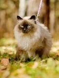 Siamese katt på en koppel Royaltyfria Foton
