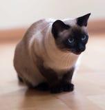 Siamese katt på trägolv Arkivbilder