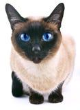 Siamese katt på viten Royaltyfri Bild