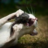 Siamese katt som fångar toyen Royaltyfri Foto
