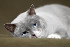 Siamese katt som kopplar av på grönt mattt royaltyfri bild