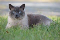 Siamese katt som lägger i gräs Fotografering för Bildbyråer