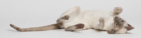 Siamese katt som ligger på sida royaltyfri fotografi