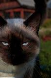 Siamese katt under höstsolen Arkivbilder