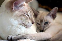 Siamese katten Stock Foto's