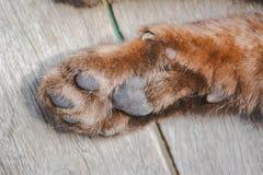 Siamese katten` s poot Royalty-vrije Stock Fotografie