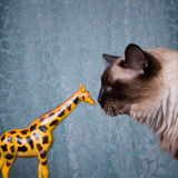 Siamese kattenportret. Stock Fotografie