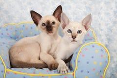 Siamese kattungar Arkivfoto