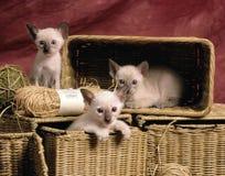 Siamese kattungar Arkivbilder