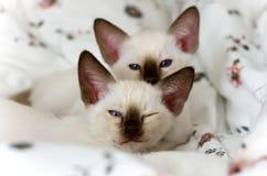 siamese kattungar Arkivbild