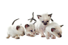 siamese kattunge Fotografering för Bildbyråer