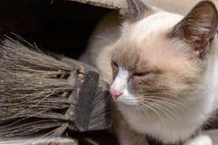 siamese kattunge Arkivbilder