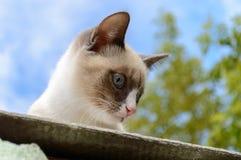 siamese kattunge Arkivbild