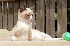 siamese kattunge Royaltyfri Foto