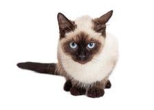 Siamese kattunge, i att förfölja position Arkivfoto