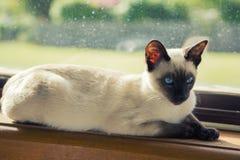 Siamese kattunge i fönster Royaltyfri Bild