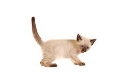 Siamese kattunge med tungan ut på White Royaltyfria Foton