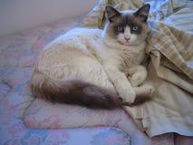 Siamese kattunge på sängen Arkivbild