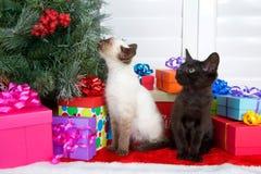Siamese kattunge som sniffar hålla ögonen på för kattunge för julgran svart Arkivfoto