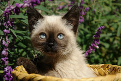 The siamese kitten. Siting in basket Royalty Free Stock Photography