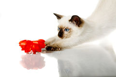 Siamese kitten Royalty Free Stock Image