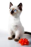 Siamese kitten Royalty Free Stock Photography