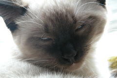 Siamese kitten. Closeup royalty free stock images